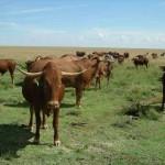Cattle - Afrikaner-1