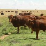 Cattle - Afrikaner