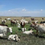 Cattle - Nguni
