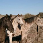 Horse - Appaloosas