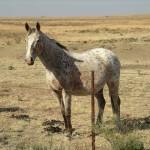 Horse - Smartie