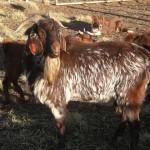 Indiginous Veld Goat - Ram