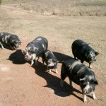 Pigs - Kolbroek