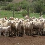 Sheep - Afrikaner