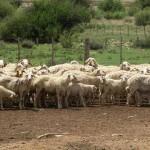 Sheep - Afrikaner-2